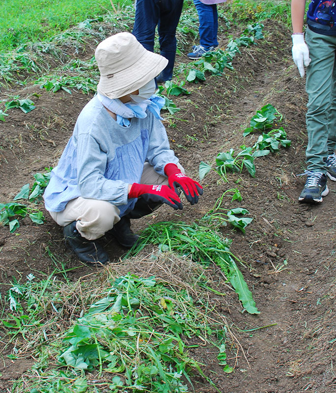 今だ!芋の苗植え